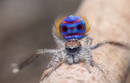 Peacockk spider